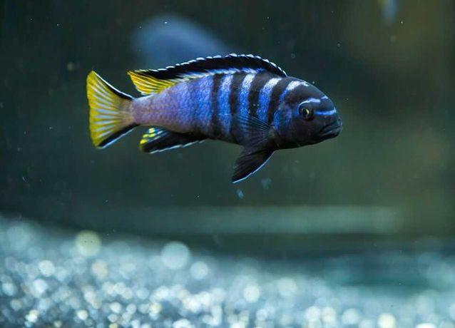 Pyszczakpseudotropheus  elongatus'  mpanga' 3,5cm.