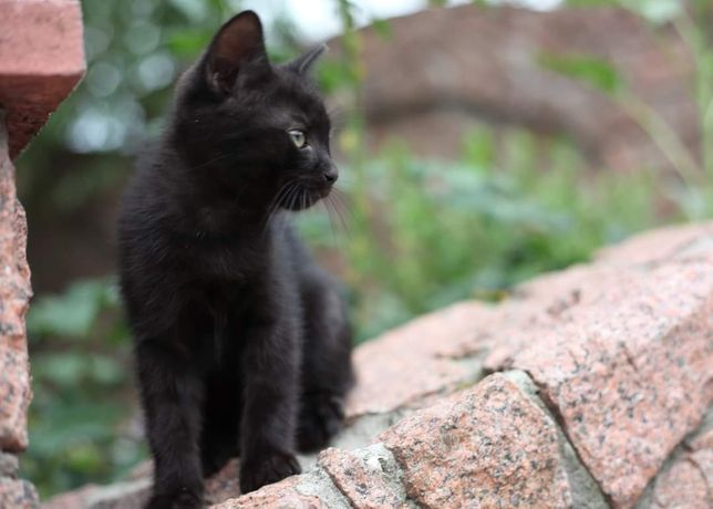 Отдам чёрного котёнка мышелова в добрые руки!