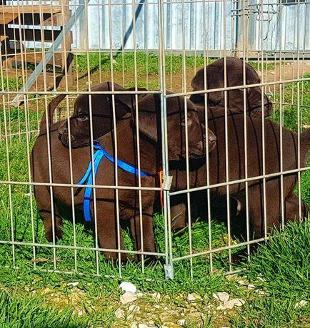 Labrador retriever pedigre e afixo
