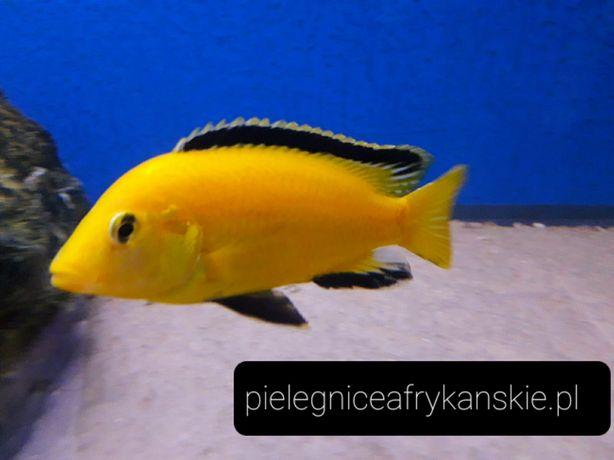 Labidochromis caeruleus yellow (Kakusa) .Pyszczak z Malawi.