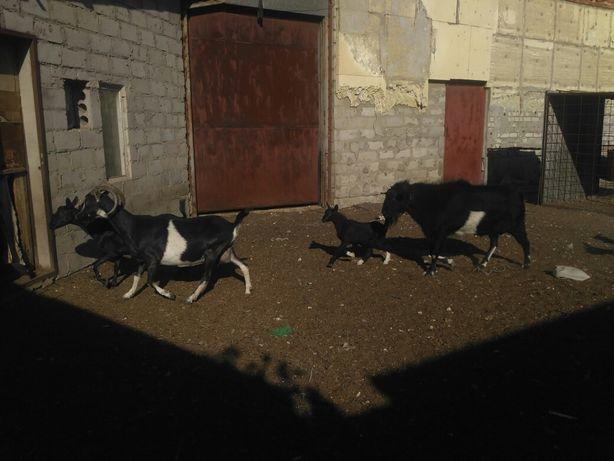 Дойные козы продажа или обмен