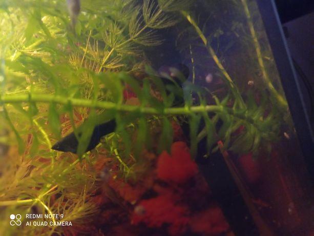 Moczarka roślina do akwarium