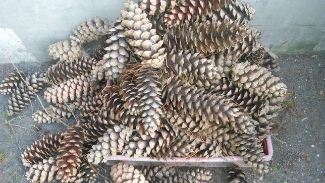 Szyszki sosny himalajskie duże, dekoracje