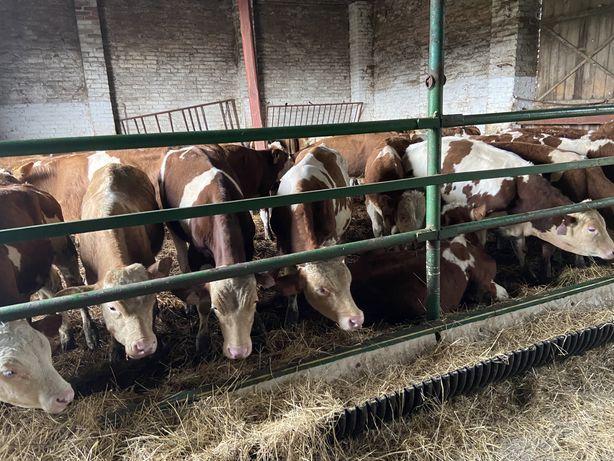 Byki mięsne do dalszej hodowli