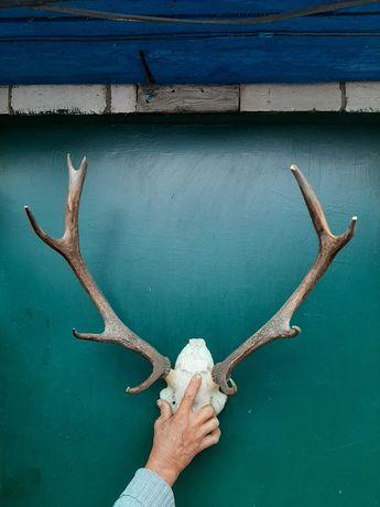 Продам рога оленя