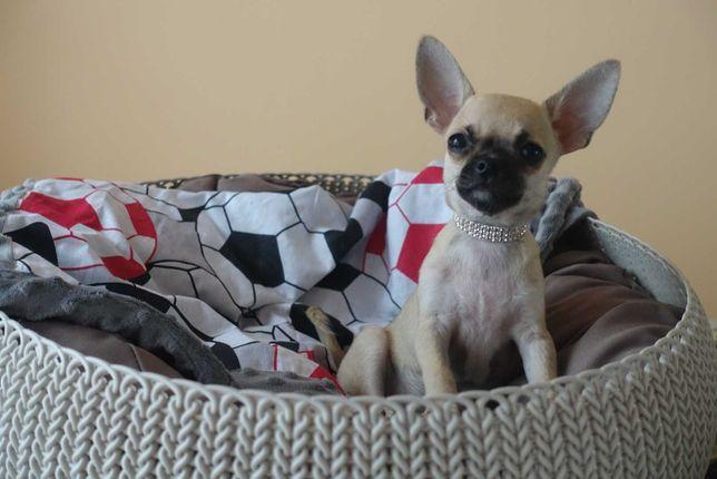 Chihuahua chłopczyk FCI