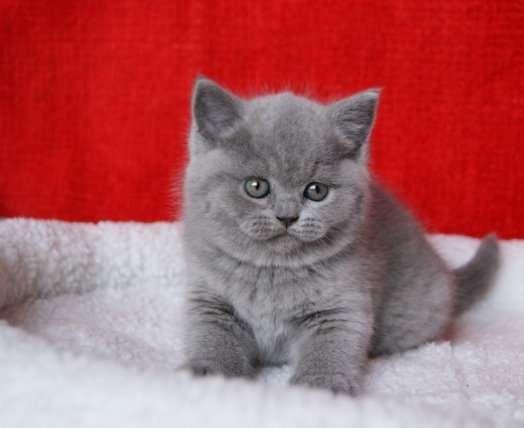 Британские с документами котята ждут родителей!