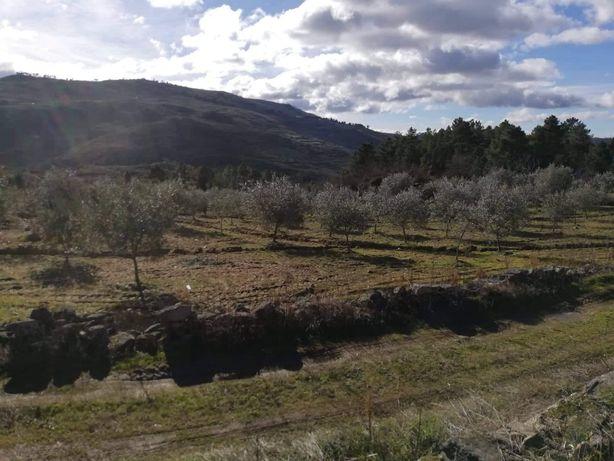 Terreno/Olival na Pala - Guedieiros