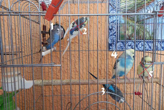 Casal de periquitos adultos e 3 crias