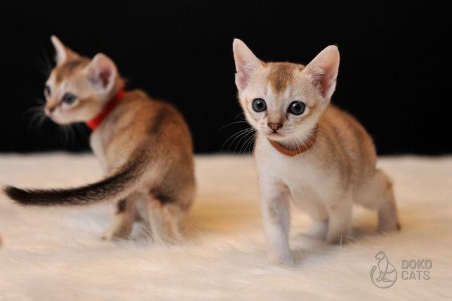 Singapura / kot singapurski / najmniejszy kotek na świecie