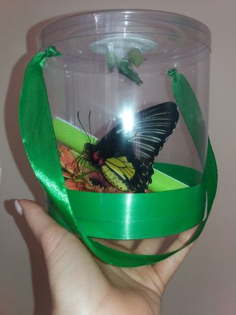 Набор куколок + живая бабочка = 2 в 1