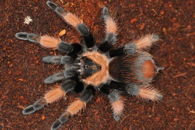 червоний павук птахоїд для новачків Brachypelma emilia паук птицеед