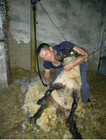 Професійна стрижка овець