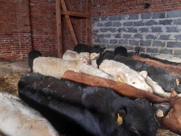 Odsady Byczki Cieleta mięsne 16 szt