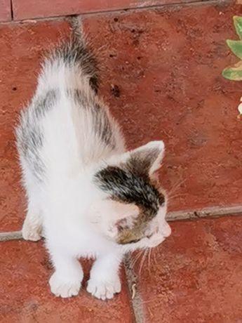 1 gatinho para adoção