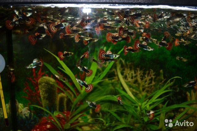 Продам рыбки аквариумные Гуппи