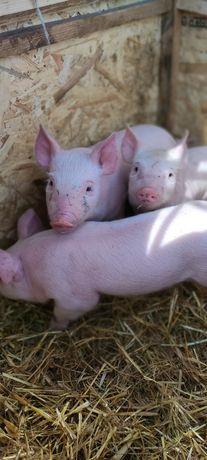Продам поросят, свиней