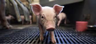 Свині - молодняк ДанБред