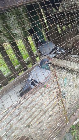 poczta polska golebie
