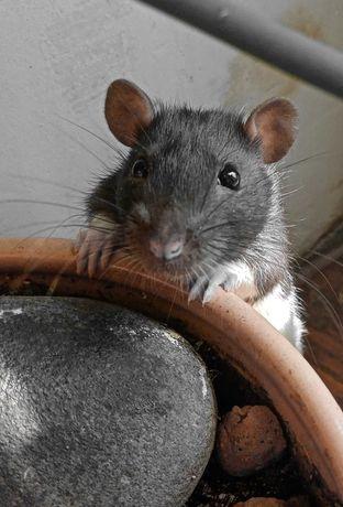 Крыски-девочки, только в любищие руки