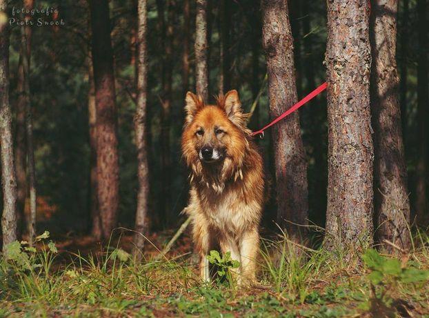 Bjorn, spokojny, piękny pies w typie owczarka staroniemieckiego