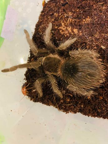 Продам птицееда - Лошадиный паук (Lasiodora parahybana)