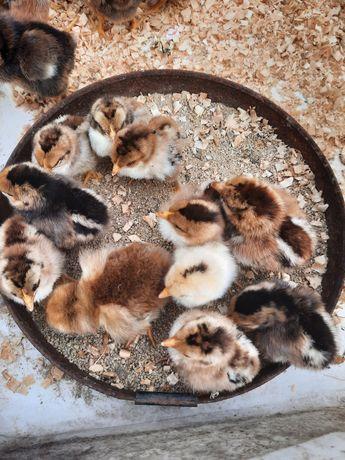 Цыплята бентамок