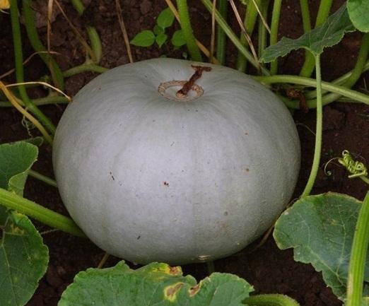 Гарбузове насіння. Гарбуз Волзький сірий