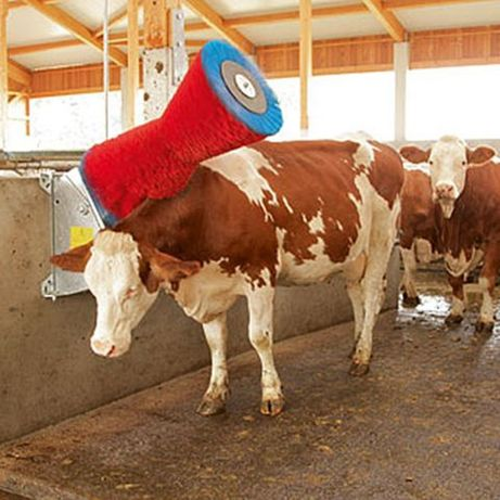 Czochradło dla bydła wspomaga właściwą higienę w oborze.