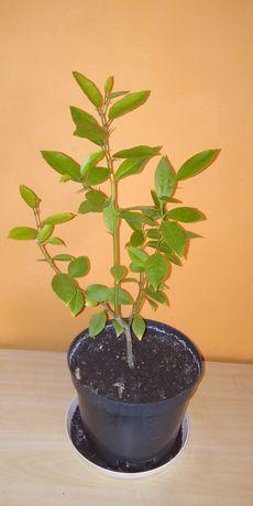 Mandarynka wys 60 cm