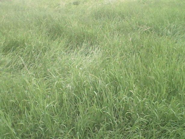 koniczyna,trawa,mieszanka,lucerna,kupkowka,tymotka,bele,kiszonka,groch
