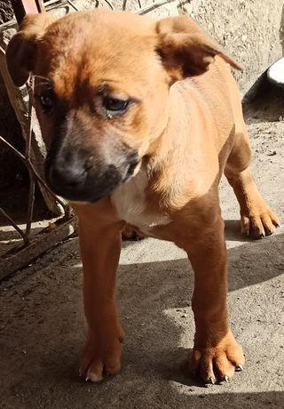 Szczeniak Amstaff Amerykański Staffordshire terrier