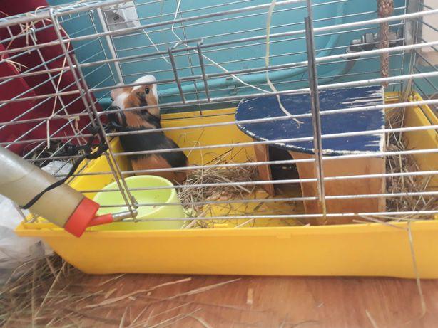 Klatki dla świnek morskich