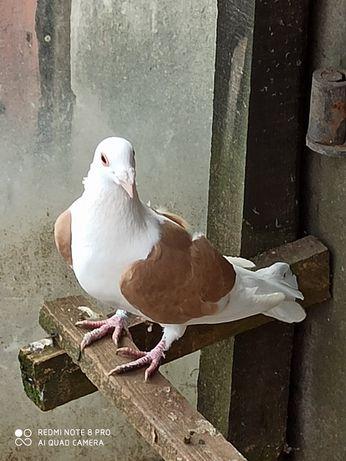 Sprzedam gołębia samca