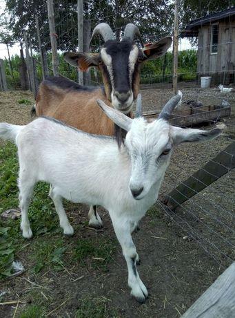 obornik kozi i owczy gospodarstwo ekologiczne za darmo nawóz gnój