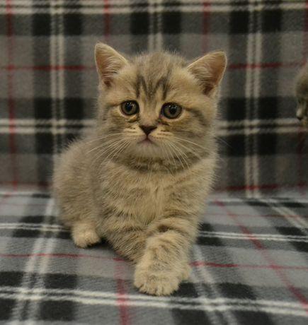 Шотландские котята, вискасный котенок