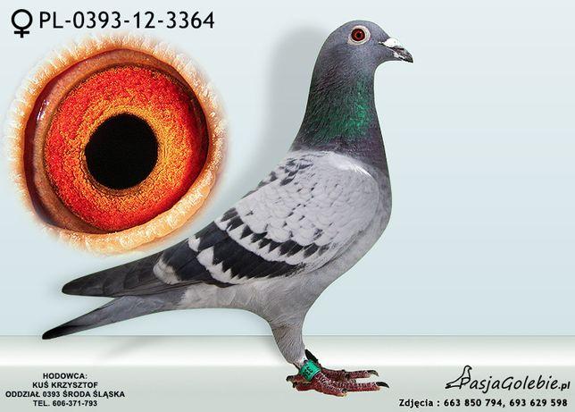 gołębie w kondycji