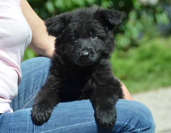 щенок немецкой овчарки, черная длинношерстная сука ( лохмач)