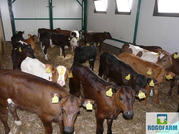 Byczki Jałówki POLSKIE 50-100 kg Mięsne, CB ,HO, HF bezpośrednio