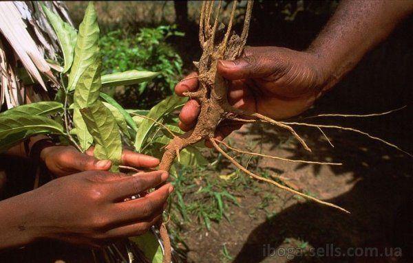 Кора корня ибога/Корень ибоги,ибога /ибогаин-капсулы/порошок (1 гр)БАД