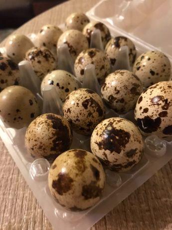 Перепелиное яйцо на инкубацию