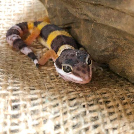 Эублефар гекон Ящерица