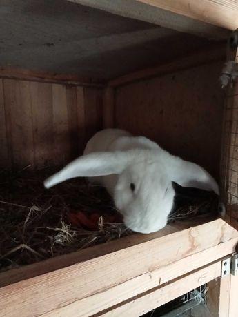 Termond - królik rasy termondzki biały- samiec
