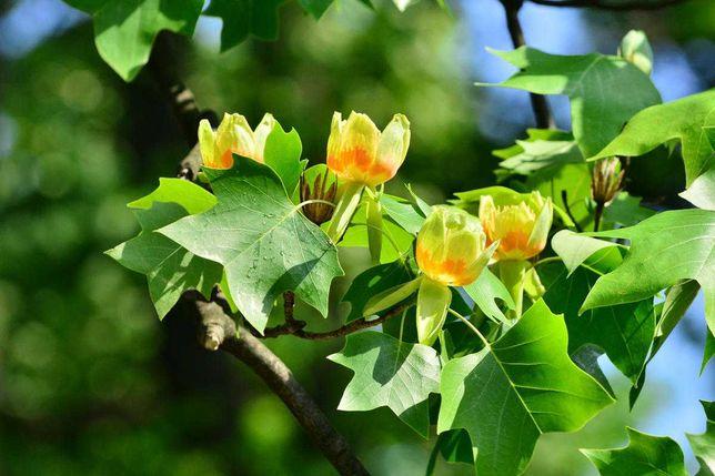 Тюльпанне дерево / Liriodendron (насіння, 2021)
