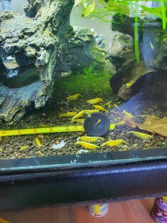 Krewetki yellow ok 1cm wielkości