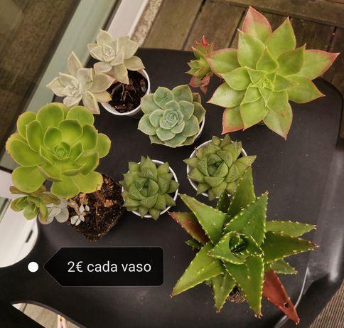 Mudas, plantas suculentas e cactos