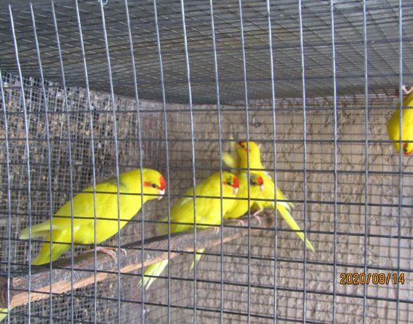 Kakarikis azuis portadores de azul e amarelos