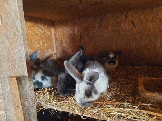 Sprzedam króliki duże,małe!Tanio!Okazja!