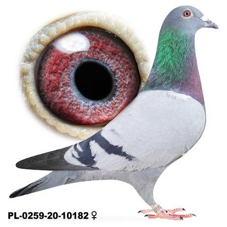Młode 2021 Para 48 Hans Hirn x Bula Gołąb gołębie pocztowe