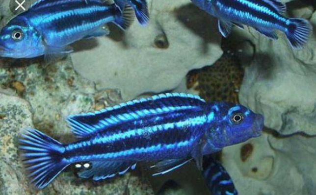 Меланохромис Майнгано Melanochromis Maingano